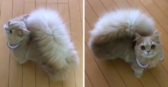 Katze Belle mit einem Schwanz, wie bei einem Eichhörnchen