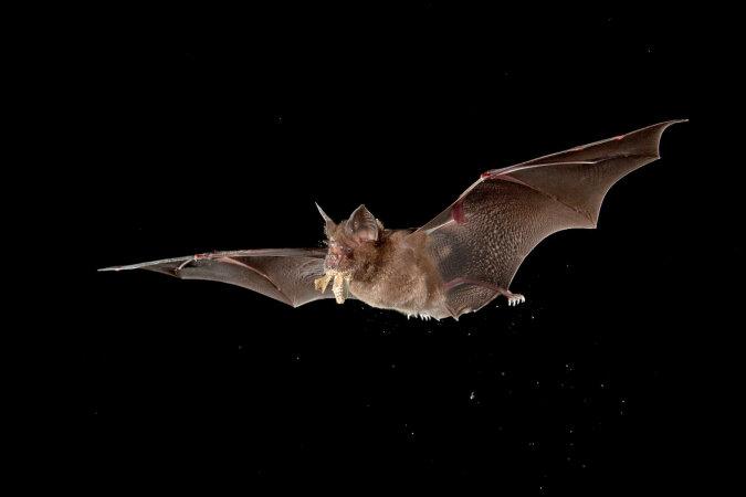 """""""Um sich über alle anderen zu erheben"""": Wissenschaftler erzählten, wie Fledermäuse in einer Höhe von 1,5 Kilometern fliegen"""