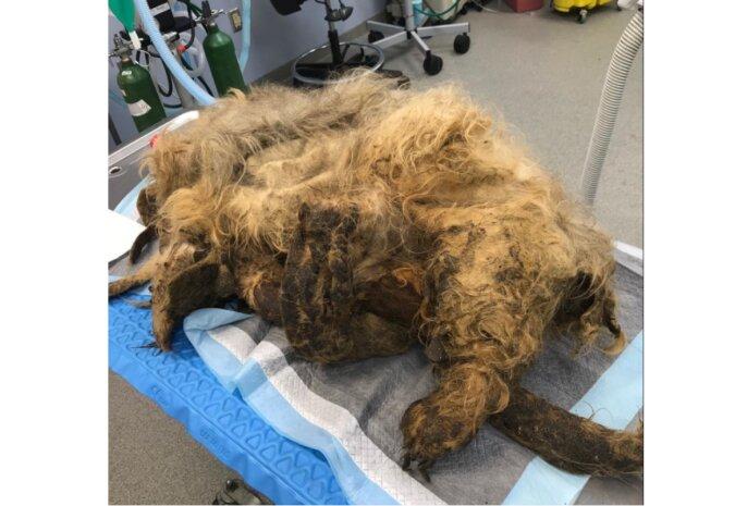 Das Fell des Hundes war sehr verwickelt, das Tier konnte nicht laufen, aber die Tierärzte zeigten, welche Schönheit sich unter dem Fell versteckte