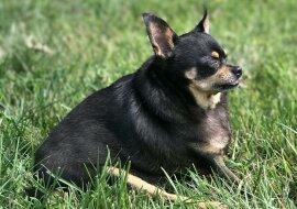 Der kleine Chihuahua war übergewichtig, also revidierte der Besitzer seinen Speiseplan