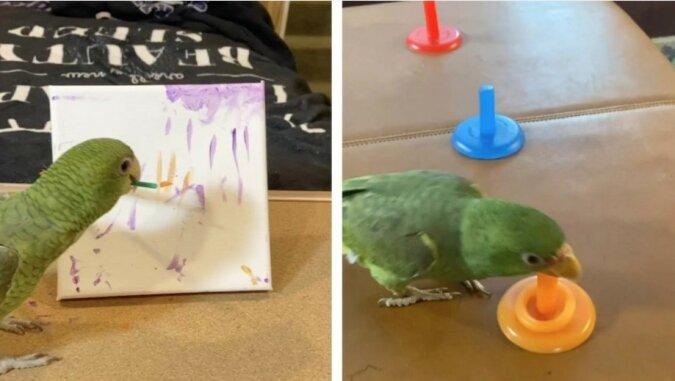 Multibegabter Haustierpapagei kann malen, Basketball und High Five spielen, aber der Intelligente Vogel kann noch nicht fliegen