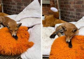 Ein Fuchs. Quelle: facebook