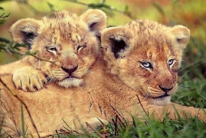 """""""Singende Löwen"""": Der Fotograf teilte einige der interessantesten Aufnahmen seiner Reise nach Afrika"""