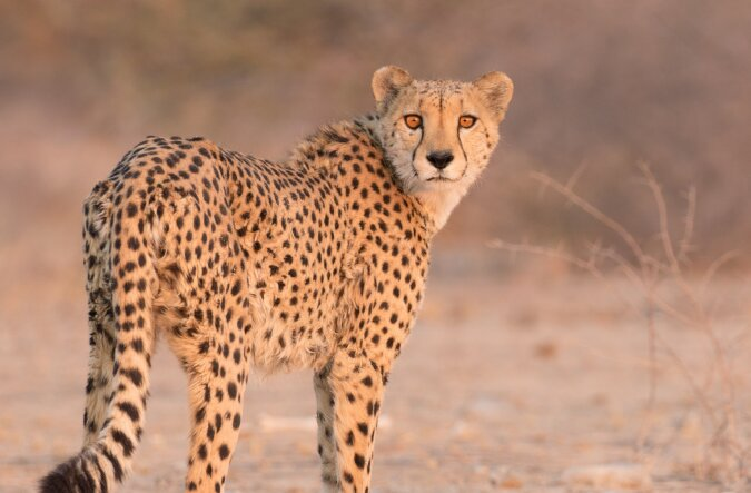 Der neugierige Gepard. Quelle:dailymail.co.uk