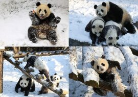 Pandas im Schnee. Quelle: dailymail.co.uk
