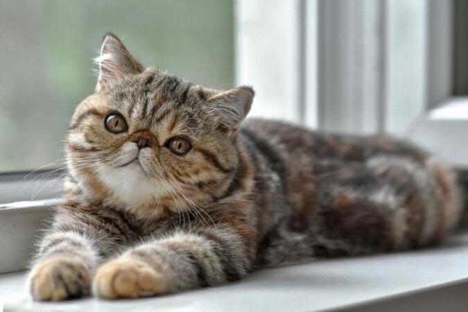 """""""Hohe Anforderungen"""": Wie eine launische Katze den Besitzern ihre Wünsche erklärt"""