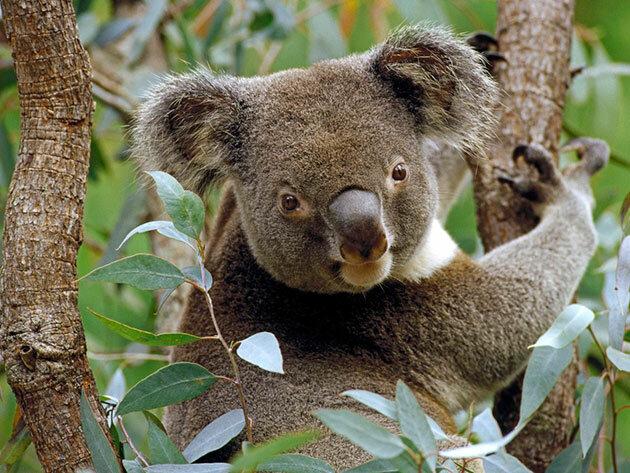 """""""Ruf der Natur"""": Koala Bernie provozierte im Zoo Aufregung, indem er ein ungewöhnliches Geräusch machte"""