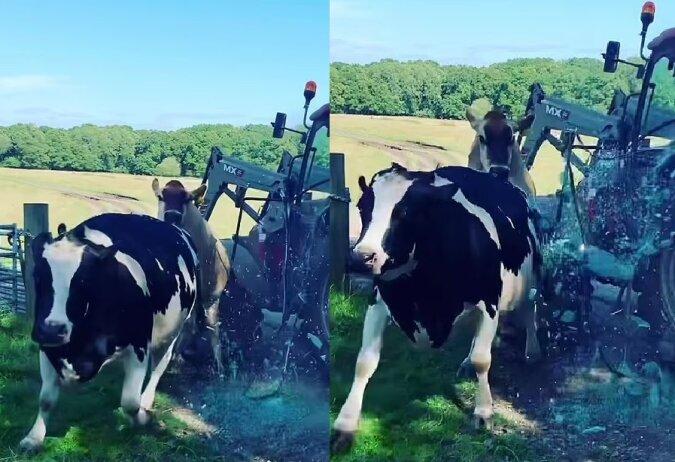 Zwei verspielte Kühe. Quelle:dailymail.co.uk