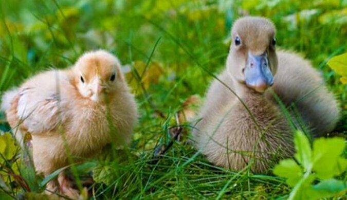 Das Entenküken denkt, dass es ein Hühnchen ist und will die Hühnerfamilie nicht verlassen
