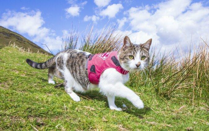 Die Katze liebt es, durch die Nachbarschaft zu laufen und hat sich unter ihren Nachbarn bereits einen Ruf der edleren Reisender erworben
