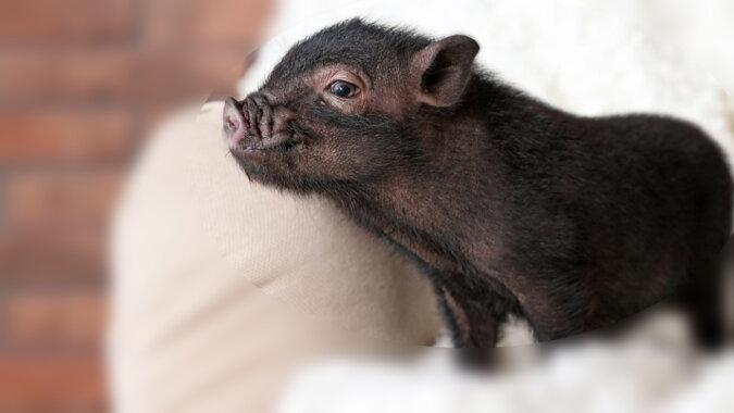 Das Mini-Schwein. Quelle: pinterest