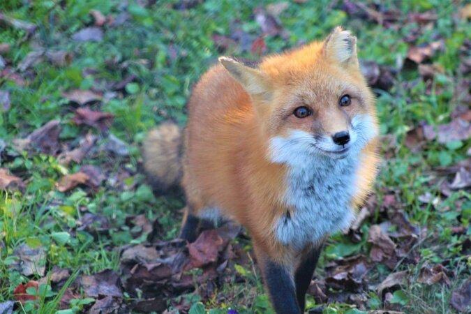 Der listige Fuchs. Quelle:dailymail.co.uk