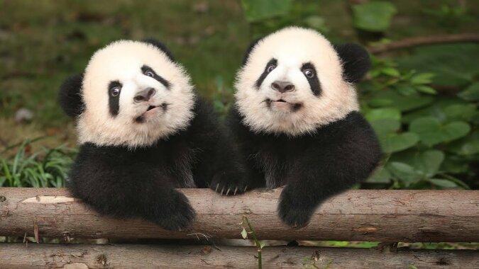 Ehepaar Pandas. Quelle:dailymail.co.uk