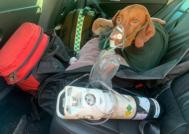 """""""Mit einer Glückshaube geboren"""": der Hund Walter überlebte einen Sturz aus Höhe, kehrte aber 24 Stunden nach dem Abenteuer mutig nach Hause zurück"""