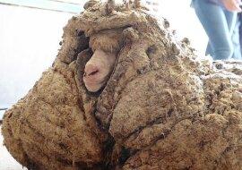 """""""Sichtbare Veränderungen"""": Ein Schaf, das seit fünf Jahren nicht mehr geschert wurde, hat endlich sein Fell gewechselt"""