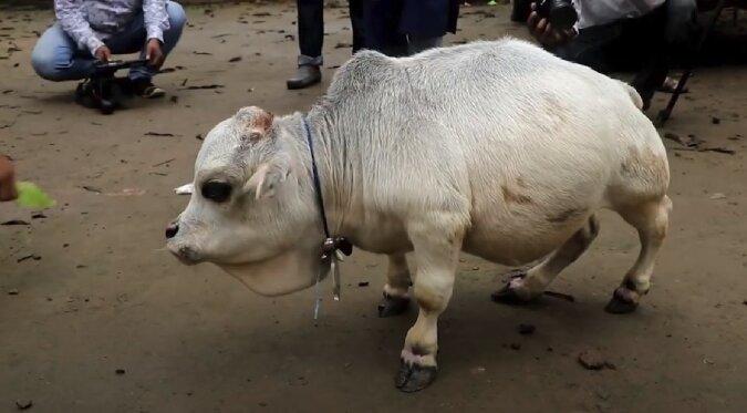 Winzige Kuh. Quelle: Screenshot YouTube