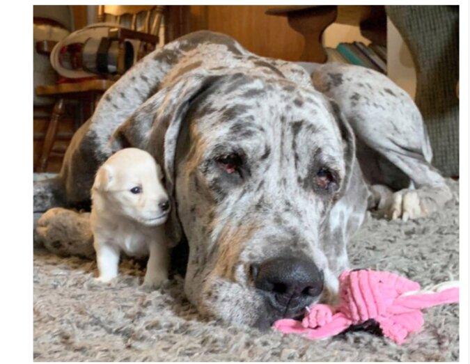 Trotz des großen Größenunterschieds sind der kleine Chihuahua und Dogge treue Freunde geworden