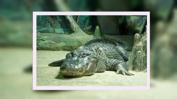 Ein Alligator. Quelle: pinterest