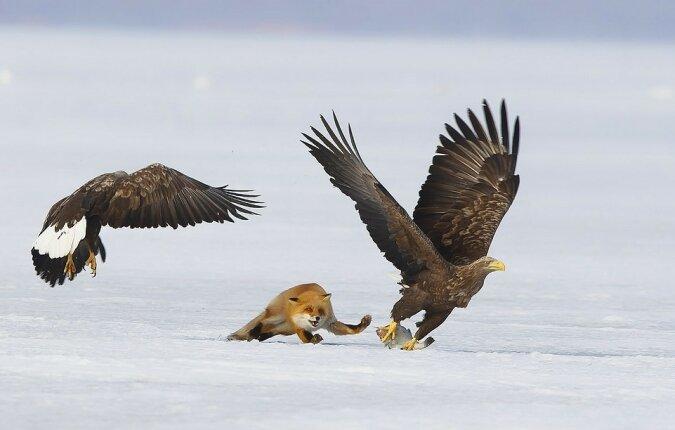 """""""Das ist mein Mittagessen"""": Dem Fotografen gelang es, ein Foto des """"Wettbewerbs"""" der Füchse und Adler um Nahrung zu machen"""