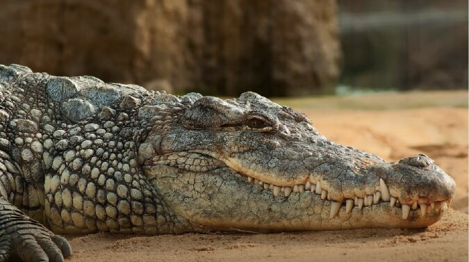 Alligator. Quelle: Screenshot YouTube