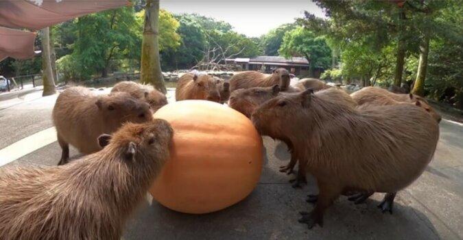 """""""Die Mahlzeit im Freundeskreis"""": Capybaras naschen den Kürbis zusammen"""