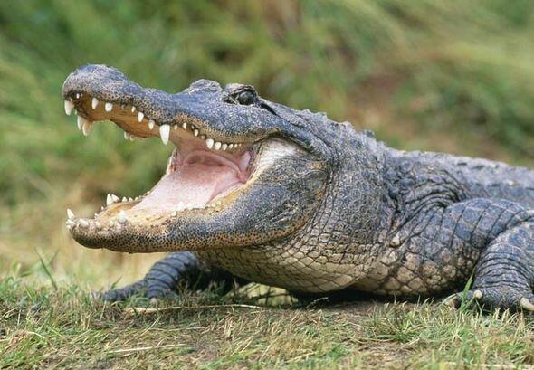 """""""Godzilla kehrt zurück"""": Ein Alligator schlendert am helllichten Tag über einen Golfplatz"""