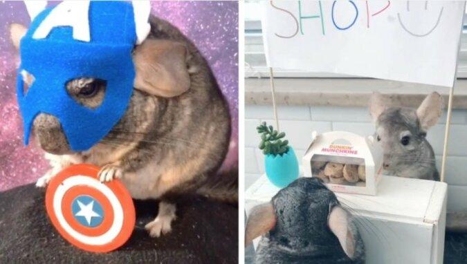 Glückliche Haustiere: Chinchillas leben ein luxuriöses Leben und bekommen alles, was sie wollen
