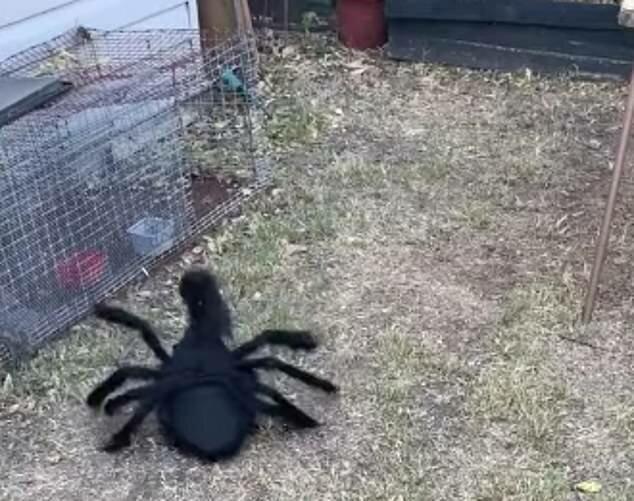 Wie Halloween-Kostüm für einen Hahn den ganzen Hof erfreute
