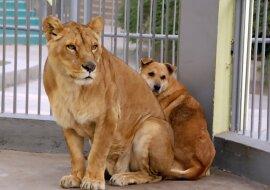"""""""Katzen gegen Hunde"""": Ein furchtloser Hund hat es geschafft, eine riesige Löwin zu """"erschrecken"""""""
