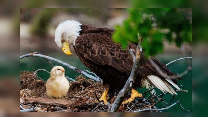 Ein Adler mit dem Küken. Quelle: trendymen
