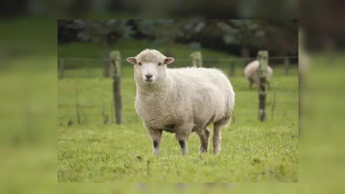 Das Schaf. Quelle:dailymail.co.uk