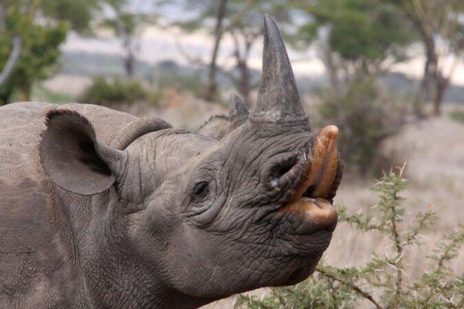 Das südliche schwarze Nashorn. Quelle:swns.com
