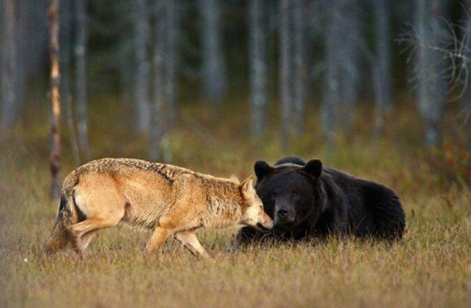 Die nette Freundschaft einer Wölfin und eines Bären, die eine Frau aus Finnland fotografierte