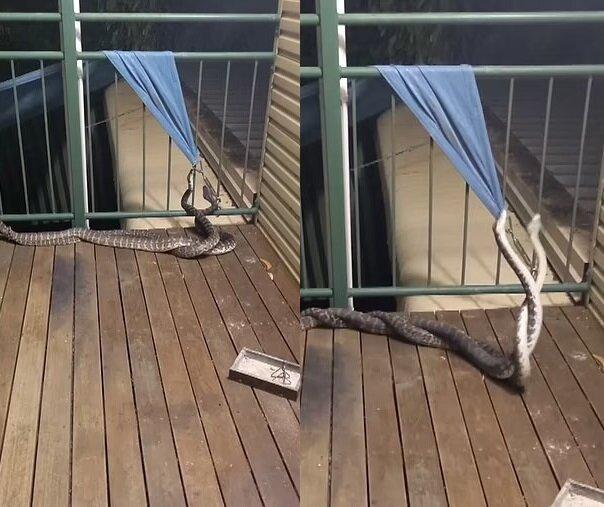 Zwei Schlangen. Quelle:dailymail.co.uk