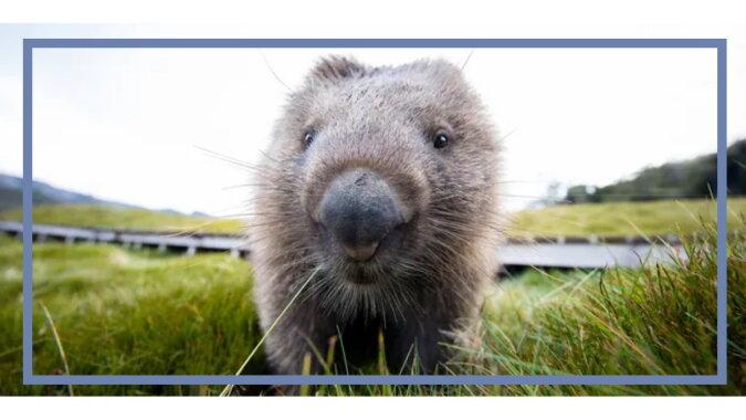 Wombat. Quelle: goodhouse