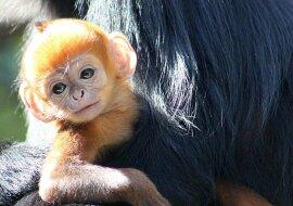 """""""Kleine Freuden"""": Neugeborener Affe freut sich über ein Bad"""