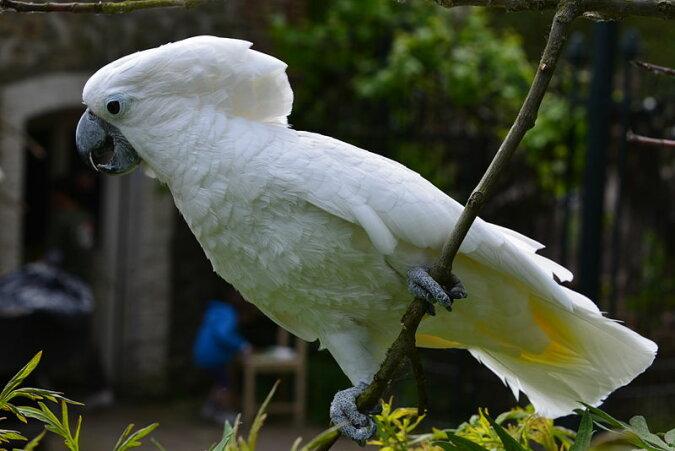"""""""Hip Hop Fan"""": Papageienkakadu namens Beethoven liebt es, zu moderner Musik zu tanzen"""