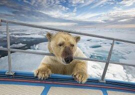 """""""Neugieriger Einheimischer"""": der Eisforscher wollte einen Eisbären fotografieren, und das Tier nahm es als Einladung an Bord an"""