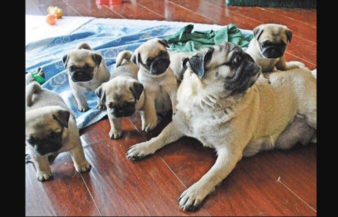 """""""Exakte Kopien"""": erwachsene Hunde mit ihren Welpen, die fast nicht zu unterscheiden sind"""