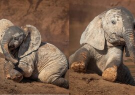 Paar entzückender junger Elefanten. Quelle:dailymail.co.uk