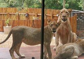 """""""Unerwartete Gäste"""": Der Mann fand sechs Löwen auf seiner Veranda, Details"""