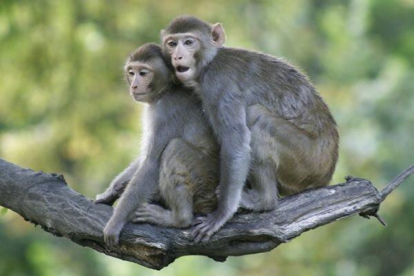So weit so gut: Makaken üben das Tauchen und benutzen Bäume als Sprungbrett