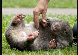 Gerettetes Wombat-Baby mit einem Gewicht von 120 Gramm wird von Menschen gefüttert, nachdem es seine Mutter verloren hat