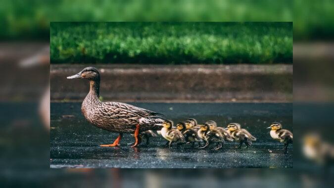 Die Ente und ihre Entenküken. Quelle: goodhouse