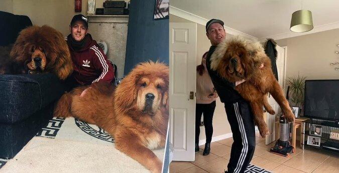 Zwei tibetische Mastiffs. Quelle:dailymail.co.uk