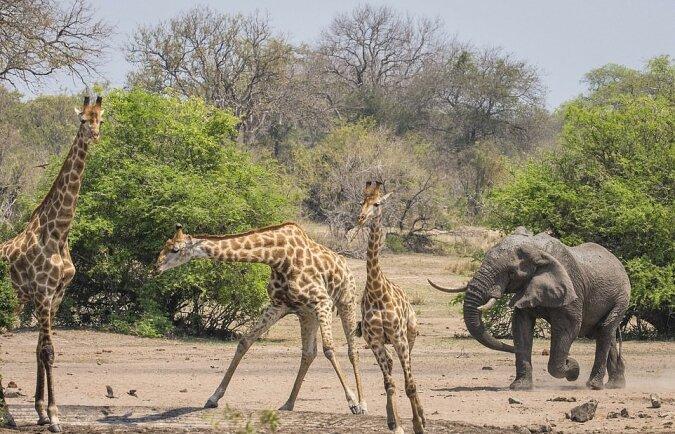 """""""Das Eindringen"""": Der Fotograf nahm den Moment auf, als der Elefant beschloss, die Giraffen von seinem Territorium zu vertreiben"""