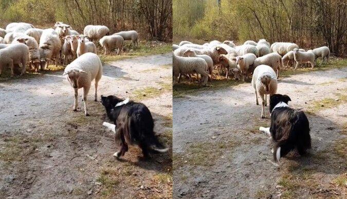 Ein Lamm und Schäferhund. Quelle:dailymail.co.uk