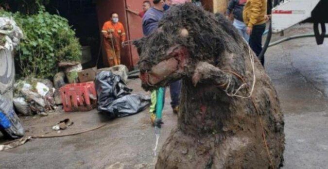 Bei der Räumung des Abwasserkanals fanden die Arbeiter eine Ratte von der Größe einer Kuh, bald darauf wurde ihre Besitzerin gefunden