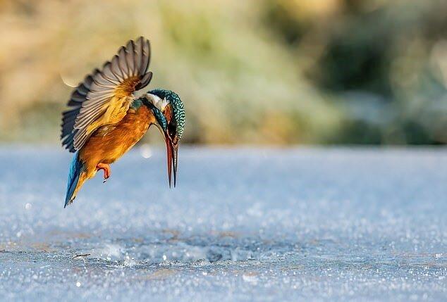 """""""Geschicklichkeit des Jägers"""": Dem Fotografen gelang es, den Vogel beim Angeln aufzunehmen"""