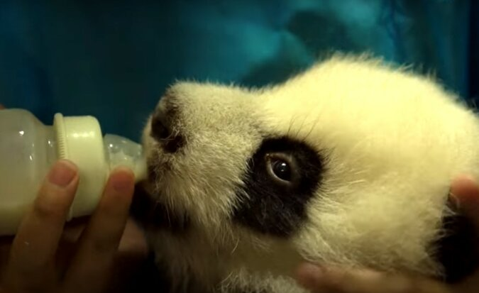 Panda. Quelle: Screenshot YouTube